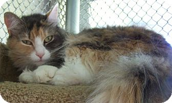 Domestic Longhair Cat for adoption in Grants Pass, Oregon - Cassie