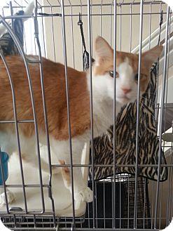 Domestic Mediumhair Cat for adoption in Laguna Woods, California - Mr. Bean