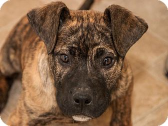 Mastiff Mix Puppy for adoption in San Andreas, California - Lodi