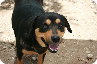 Rottweiler/Labrador Retriever Mix Dog for adoption in San Antonio, Texas - Bindi