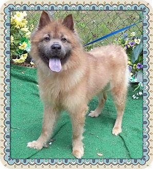Chow Chow/Keeshond Mix Dog for adoption in Marietta, Georgia - ALOHA