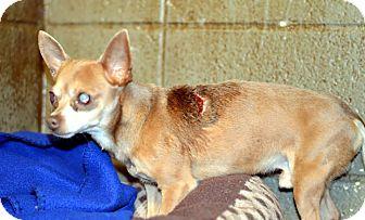 Chihuahua Mix Dog for adoption in Henderson, North Carolina - Hector