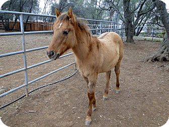 Mustang Mix for adoption in El Dorado Hills, California - Cash