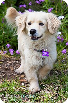 Cocker Spaniel/Pomeranian Mix Dog for adoption in Thousand Oaks, California - Glenda