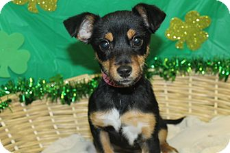 Feist Mix Puppy for adoption in Waldorf, Maryland - Annabelle