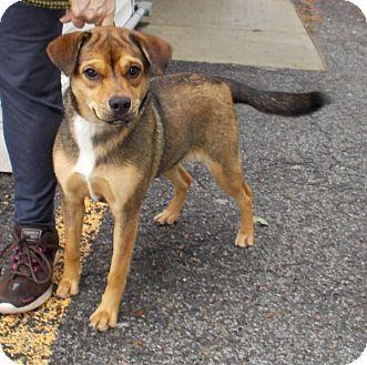 German Shepherd Dog Mix Puppy for adoption in Middletown, New York - Tulip