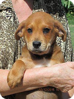 Flat-Coated Retriever/Labrador Retriever Mix Puppy for adoption in Oswego, New York - Quest