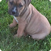 Adopt A Pet :: Banjo - Davison, MI