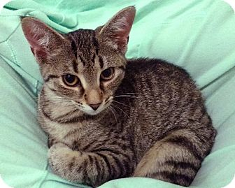 American Shorthair Kitten for adoption in Rochester, New York - Darcy