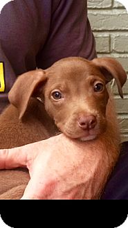 American Staffordshire Terrier/Labrador Retriever Mix Puppy for adoption in Brattleboro, Vermont - Boone