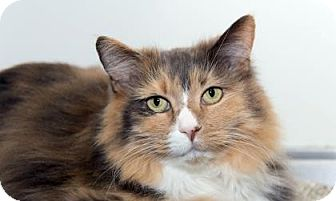 Domestic Longhair Cat for adoption in Lowell, Massachusetts - Lucky