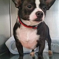 Chihuahua Mix Dog for adoption in Scottsdale, Arizona - Boodah