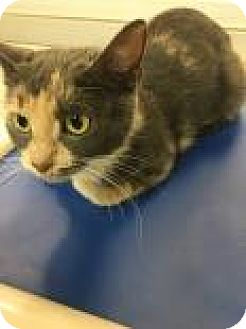 Domestic Shorthair Cat for adoption in Columbus, Georgia - Giblet 8288