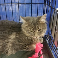 Domestic Mediumhair Cat for adoption in Idaho Falls, Idaho - Handsome