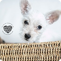 Adopt A Pet :: Milk - Inglewood, CA