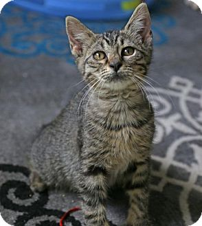 American Bobtail Kitten for adoption in ROSENBERG, Texas - Manxie