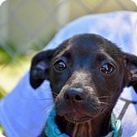 Adopt A Pet :: Cricket - Danbury, CT