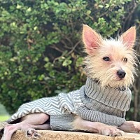 Adopt A Pet :: Caroline - Plainfield, IL