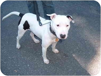 Bull Terrier Mix Dog for adoption in Long Beach, New York - Lulu