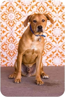 Labrador Retriever Mix Dog for adoption in Portland, Oregon - Clifford