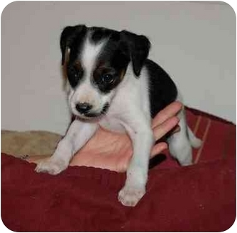 Spaniel (Unknown Type)/Labrador Retriever Mix Puppy for adoption in Chula Vista, California - Benji