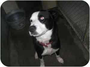 Border Collie Mix Dog for adoption in Henderson, North Carolina - Bingo