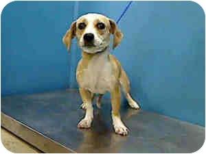Beagle/Dachshund Mix Dog for adoption in Houston, Texas - Corkie