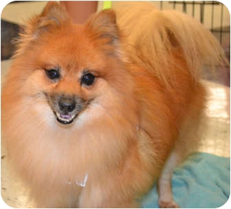 Pomeranian/Spitz (Unknown Type, Small) Mix Dog for adoption in Ardsley, New York - Fritz