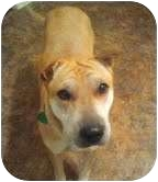 Shar Pei Mix Dog for adoption in Buffalo, New York - Elvis