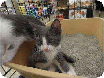 Domestic Shorthair Kitten for adoption in Warren, Michigan - Henry