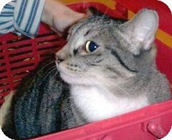 Domestic Shorthair Cat for adoption in Miami, Florida - Linda