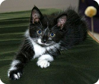 Domestic Shorthair Kitten for adoption in Troy, Michigan - Cody