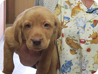 Labrador Retriever/Golden Retriever Mix Puppy for adoption in Allentown, Pennsylvania - Figgy Puddin