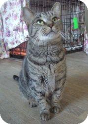 Domestic Shorthair Cat for adoption in Acushnet, Massachusetts - Friskie