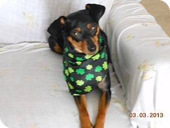 Miniature Pinscher Dog for adoption in Myersville, Maryland - Savannah