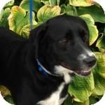 Labrador Retriever Mix Dog for adoption in Cincinnati, Ohio - Paco