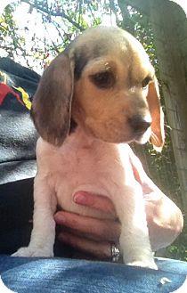 Beagle Mix Puppy for adoption in Richmond, Virginia - Patty