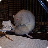 Adopt A Pet :: Earl Grey - Greenwood, MI
