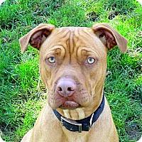 Adopt A Pet :: Maxie girl - Sacramento, CA