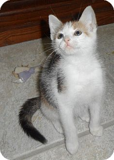 Domestic Shorthair Kitten for adoption in Plano, Texas - GUMDROP - OUTGOING BABY GIRL!!