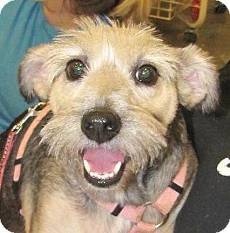 Schnauzer (Miniature) Mix Dog for adoption in Crowley, Louisiana - Marley