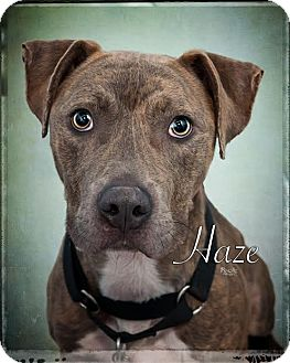 Staffordshire Bull Terrier Dog for adoption in Fort Mill, South Carolina - Haze