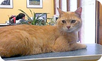 Domestic Shorthair Cat for adoption in HILLSBORO, Oregon - Archer 'Offered by Owner' Spectacularly Friendly