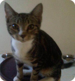 Domestic Mediumhair Cat for adoption in Satellite Beach, Florida - Tiger