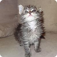 Adopt A Pet :: Farrah - Bentonville, AR