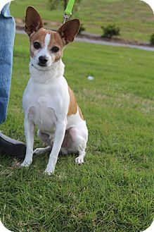 Chihuahua Dog for adoption in Hagerstown, Maryland - Charlie Augusta