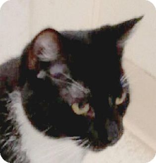 Domestic Longhair Cat for adoption in Maquoketa, Iowa - M and M