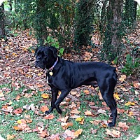 Adopt A Pet :: Conway Corso - Alexandria, VA