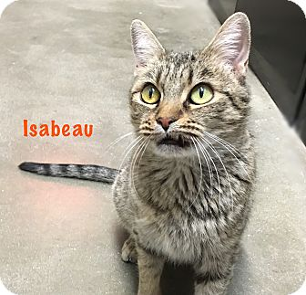 Domestic Shorthair Cat for adoption in Foothill Ranch, California - Isabeau