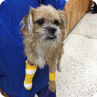 Affenpinscher/Terrier (Unknown Type, Small) Mix Dog for adoption in Los Angeles, California - Steven Tyler Jr